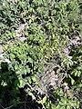 Solanales - Solanum tuberosum - 2.jpg