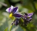 Solanum Muricatum Flowers.jpg