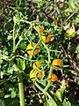 Solanum lycopersicum sl1.jpg