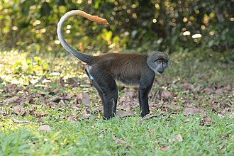 Kin selection - Sun-tailed monkeys favour their own maternal kin.