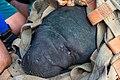 Soltura de peixe-boi, Amapá (48997102463).jpg