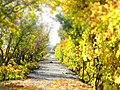 Sonbahar Üzüm Bağlarında - panoramio.jpg