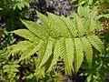 Sorbaria sorbifolia 2017-05-16 0360.jpg