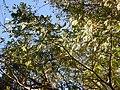 Sorbus aucuparia (5084661535).jpg