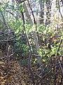 Sorbus aucuparia (5084661761).jpg
