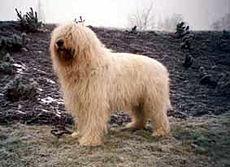 Cane Da Pastore Della Russia Meridionale Wikipedia