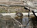 Southern Painted Turtle (Chrysemys picta dorsalis) - Flickr - GregTheBusker.jpg