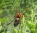 Spider. Agelenopsis sp. ^ (Grass Spiders) - Flickr - gailhampshire.jpg