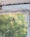 Spider with prey ( 1070002).jpg