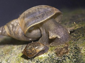 Lymnaea - The large snail is Lymnaea stagnalis