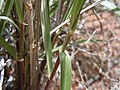 Sporobolus cryptandrus Oryzopsis-Hilaria-Sporobolus steppe (6124233691).jpg