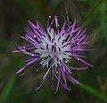 Spotted knapweed Centaurea stoebe Washington Island Wisconsin.jpg