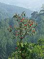 Sri Lanka-Tulipier du Gabon.jpg