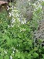 Stachys aethiopica Flipphi 1.jpg