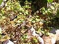 Starr-031005-0060-Alternanthera pungens-habit-Kawililipoa-Maui (24044857144).jpg