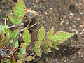 Starr-070908-9399-Rubus niveus-form b coming up in post fire planting area-Polipoli-Maui (24775253512).jpg