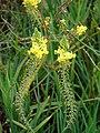 Starr-090417-6185-Bulbine frutescens-flowers-Pukalani-Maui (24321668974).jpg