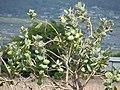 Starr-090608-9012-Calotropis procera-flowers and fruit-Waikapu-Maui (24869367921).jpg
