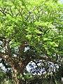 Starr-090610-0455-Enterolobium cyclocarpum-habit-Haiku-Maui (24845596142).jpg
