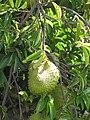 Starr-090720-3044-Annona muricata-fruit and leaves-Waiehu-Maui (24852160792).jpg