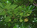 Starr-091104-0980-Dillenia indica-fruit and leaves-Kahanu Gardens NTBG Kaeleku Hana-Maui (24620329419).jpg