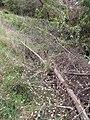 Starr-100401-4292-Erigeron karvinskianus-flowering habit-Polipoli-Maui (24731911700).jpg