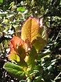 Starr-110713-7160-Vaccinium sp-leaves-Koolau Gap-Maui (25005897741).jpg