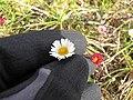 Starr-110929-9625-Erigeron karvinskianus-flower-Hanaula-Maui (24821331560).jpg