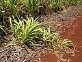 Starr-120702-7861-Cenchrus purpureus x glaucum-Hoolehua PMC hybrid Pearl Millet x banagrass fallen over rerooting-USDA Plant Materials Center-Molokai (25092896781).jpg