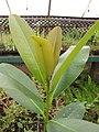 Starr-130703-5530-Calophyllum inophyllum-leaves-Kealia Pond-Maui (25100976292).jpg