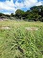 Starr-141025-2487-Paspalum dilatatum-habit-Kawela Bridge-Molokai (24621010393).jpg