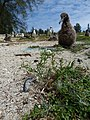 Starr-150325-0415-Lepidium virginicum-controlled habit-Residences Sand Island-Midway Atoll (25265644825).jpg
