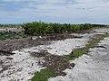 Starr-150403-1462-Crinum asiaticum-hedge-Near Pier Eastern Island-Midway Atoll (24982183570).jpg