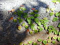 Starr 001228-0132 Ficus pumila.jpg