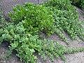 Starr 040403-0057 Vitex rotundifolia.jpg