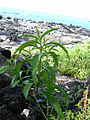 Starr 040410-0038 Myoporum sandwicense.jpg