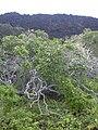 Starr 040410-0125 Rauvolfia sandwicensis.jpg