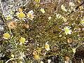 Starr 040723-0097 Leucanthemum vulgare.jpg