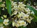 Starr 050216-4052 Pittosporum undulatum.jpg