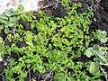 Starr 050224-4443 Solanum americanum.jpg
