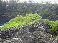Starr 050405-0080 Ficus microcarpa.jpg