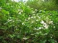 Starr 050501-1090 Rubus argutus.jpg