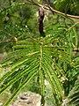 Starr 050816-3643 Acacia mearnsii.jpg