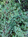 Starr 061204-1846 Begonia foliosa.jpg