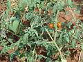 Starr 070124-3921 Solanum lycopersicum var. cerasiforme.jpg