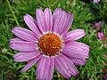 Starr 070906-8416 Argyranthemum frutescens.jpg