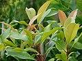 Starr 070906-8563 Syzygium aromaticum.jpg