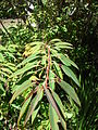 Starr 071024-0280 Euphorbia fulgens.jpg