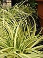 Starr 080117-1764 Carex hachijoensis.jpg