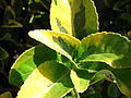 Starr 080117-1923 Euonymus japonica.jpg